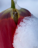 Red Tulip Snow