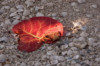 Red Leave and Shells